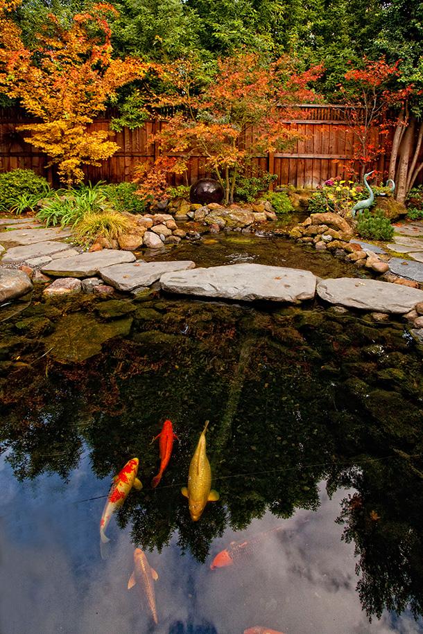 Los Gatos Koi Pond and Landscape Installation
