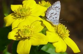 marsh-marigold-spring-azure-butterfly