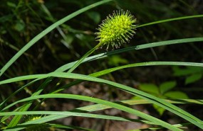sq_sedge1